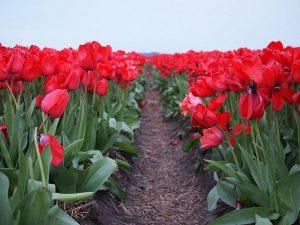clima del tulipan