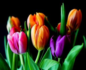 tipos de flores de tulipanes
