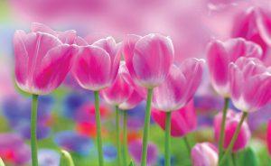 color rosa en un tulipan