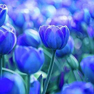 usos y significado del tulipan azul