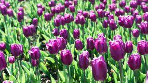 el color morado en los tulipanes