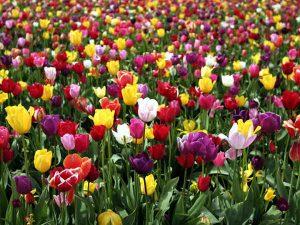 tulipan como regalo