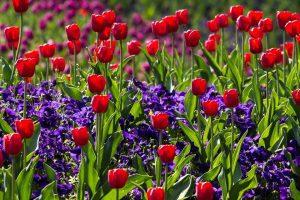 origen del tulipan