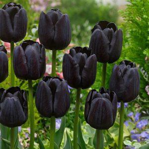 el color negro en el tulipan