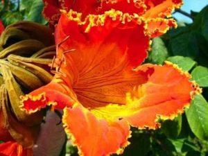 flor del tulipan africano