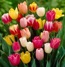 origen de los tulipanes
