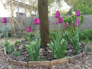 como hay que regar los tulipanes