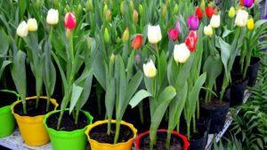 cuando se plantan los tulipanes