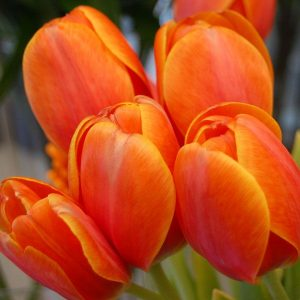 caracteristicas del tulipan anaranjado
