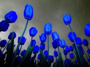 caracteristicas especiales del tulipan
