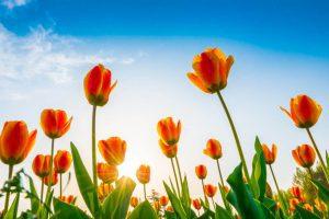 como cuidar un tulipan