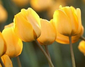 tulipan amarillo