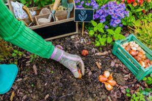 como plantar el bulbo del tulipan