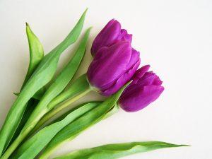 significado y usos del tulipan morado