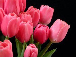 significado de los tulipanes