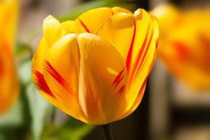 flor del tulipan