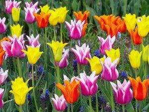 propiedades del tulipan