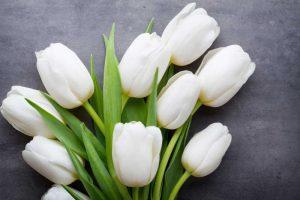 caracteristicas especiales del tulipan blanco