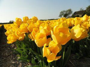usos y significados del tulipan de color amarillo