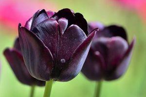 caracteristicas especiales del tulipan de color negro