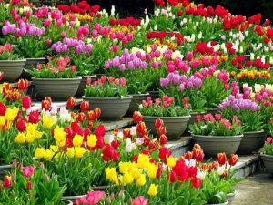 epoca de plantar tulipanes
