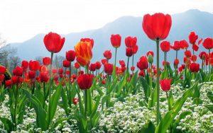 usos y significado del tulipan de color rojo