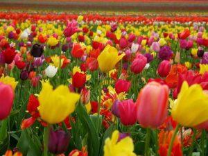 como plantar un tulipan