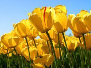 caracteristicas del tulipan amarillo