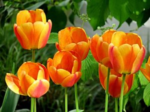color anaranjado del tulipan