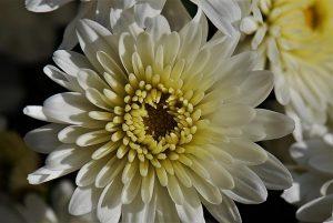 usos crisantemo