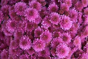 cuidados del crisantemo purpura