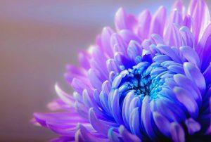 crisantemo como regalo