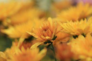 como podar un crisantemo