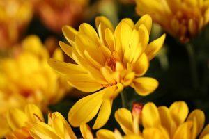 como se poda un crisantemo
