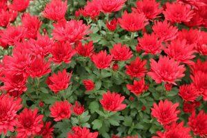 Crisantemo Dark Red Mayford Perfection