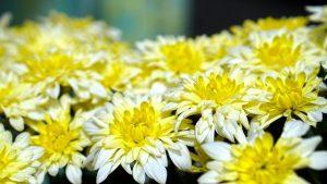 caracterisitcas del crisantemo