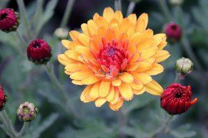 como cuidar un crisantemo