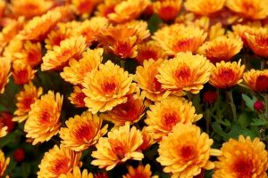 usos del crisantemo