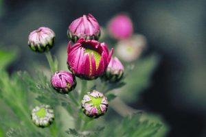 crisantemo morado
