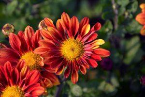 crisantemo rojo