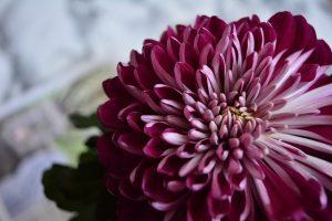 crisantemo purpura