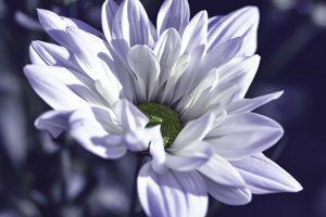 cuidados del crisantemo