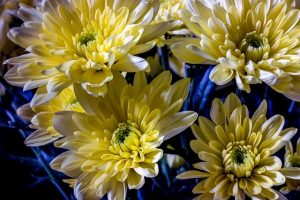 la flor del crisantemo