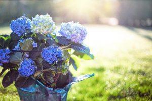 significado de la hortensia azul