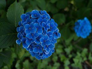 plantar una hortensia