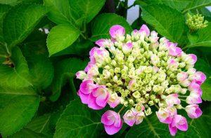 significado hortensia