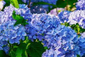 usos de la hortensia azul
