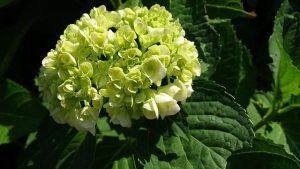 cuidados de la hortensia verde