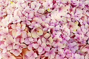 hortensia rosada