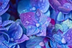 hortensia de color azul